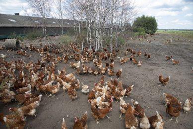 Vannacht wordt de ophokplicht in heel Nederland ingetrokken. Op dinsdag 6 juli mogen in alle regio's de kippen weer naar buiten. - Foto: Hans Banus