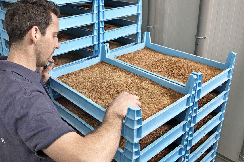 Bakken met meelwormen bij een insectenkweker. Tesco en WWF willen dat de Britse overheid de kweek ervan stimuleert. Tesco vindt het belangrijk veevoer duurzamer te maken richting een circulaire economie. - Foto: Koos Groenewold