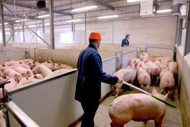 Varkens worden opgedreven bij een slachterij. - Foto: Ronald Hissink