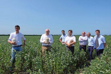 Deelnemers van het project om de mogelijkheden van een lokale veldbonenketen in Zeeland te onderzoeken, waaronder Jurriaan Visser van CZAV (l) en Jos Hugense van Meatless, op een perceel veldbonen in Colijnsplaat. - Foto: Misset