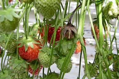 Aardbeienrapport wijst op risico's stapeling middelen. -  Foto: Misset