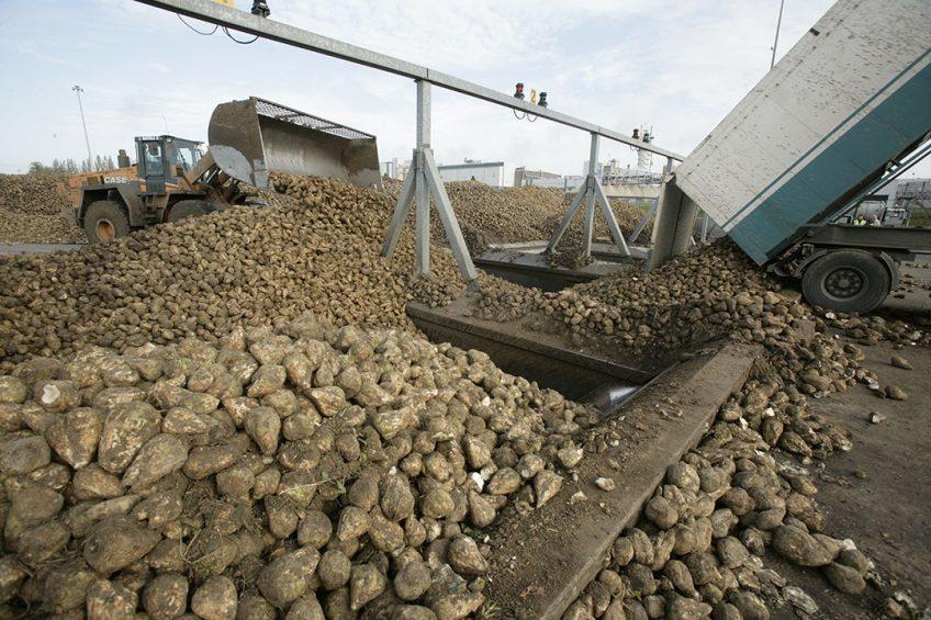 Suikerbieten gaan de stortbunker in bij Cosun Beet Company. - Foto: koos Groenewold