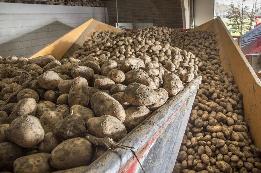 Het laden van aardappelen voor fritesverwerking. - Foto: Koos Groenewold