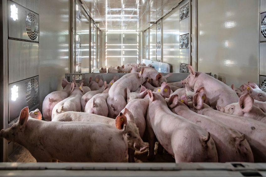 Biggen worden geladen voor transport naar de vleesveehouder.