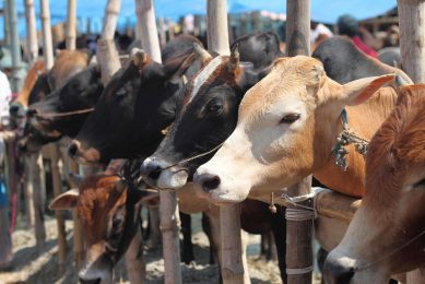 De productie in India en Pakistan zal naar verwachting hoofdzakelijk worden uitgebreid door meer koeien te gaan houden. Foto: Canva
