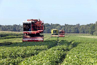 De oogst van bonen bestemd voor de industriële verwerking. - Foto: Bert Jansen