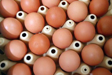 Vanaf 12 weken moeten eieren van vrijeuitloopkippen afgewaard worden tot scharrelei. Foto: Bert Jansen