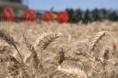 De oogst van tarwe. - Foto: Mark Pasveer