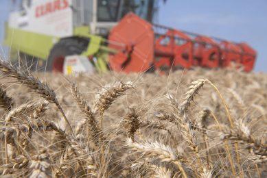 Oogst van tarwe. Akkerbouwcoöperatie CZAV gaat baktarwe, zogenoemde Nedertarwe, leveren aan meelfabrikant Koopmans. - Foto: Mark Pasveer