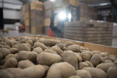 Pootaardappelen in kisten bij een akkerbouwer. - Foto: Mark Pasveer