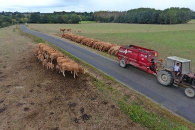 Een Franse Limousin-fokker voert zijn dieren. Kleine bedrijven blijven alleen bestaan als er lokale slachtfaciliteiten zijn, vindt het landbouwministerie. Foto: Henk Riswick