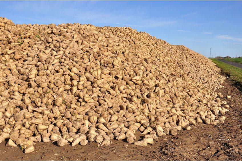 Het concern wijt het lagere resultaat aan hogere verwerkingskosten van de bieten en een kleinere suikerverkoop aan de detailhandel. Foto: Canva