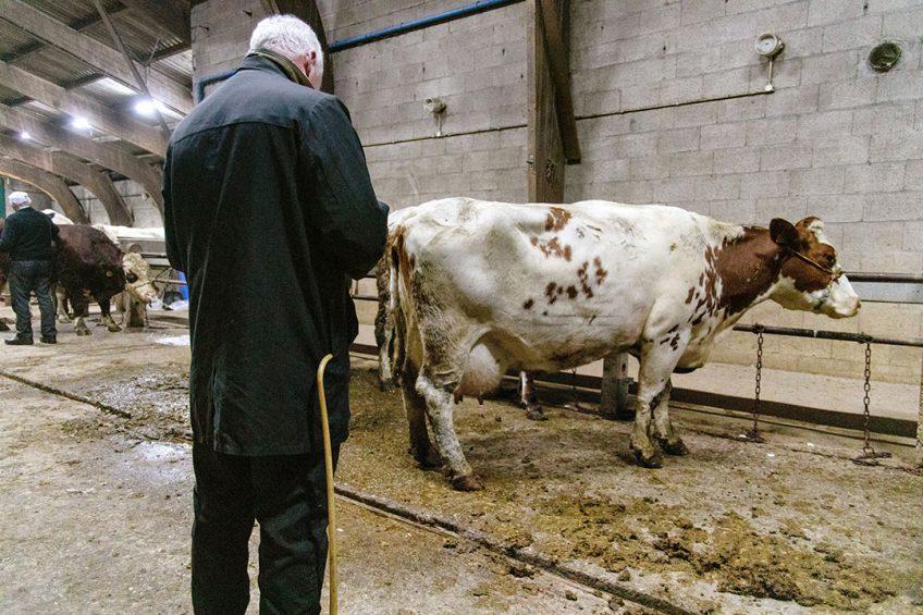 Een handelaar op de veemarkt in Bunnik bekijkt één van de koeien op de markt. - Foto: Herbert Wiggerman