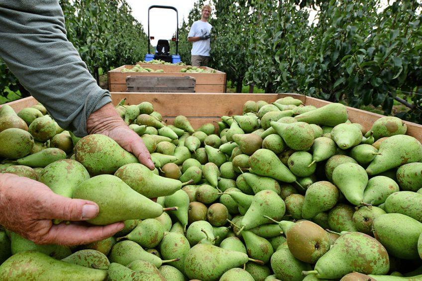 Nederland is dit seizoen de grootste perenproducent van Europa, als gevolg van de dramatische daling van de perenoogst in Frankrijk en Italië. - Foto: ANP