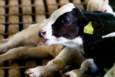 Een zwartbont stierkalf van extra kwaliteit staat op €95 tot €110 per dier. - Foto: Ronald Hissink