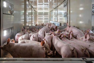 Biggen worden geladen voor transport naar vleesvarkensbedrijf. De biggenprijs staat fors onder druk.