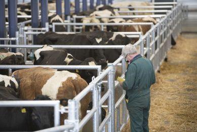 Slachtkoeien worden verhandeld op de veemarkt Leeuwarden. - Foto: Mark Pasveer