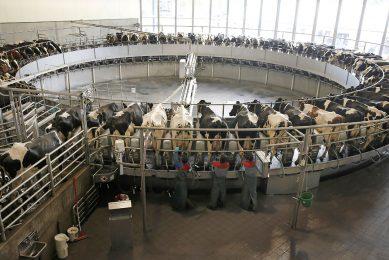 De carrouselmelkstal van Vreba Melkvee in Vredepeel melkt 80 koeien tegelijk. De melk wordt nu op het bedrijf gescheiden in room en magere melk. Vreba wil ook lactoferrine gaan produceren. - Foto: Hans Prinsen