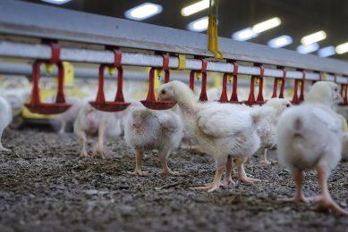 Het aanbod van vleeskuikens is groter dan de vraag. Dat heeft een negatieve invloed op de prijzen. - Foto: Lex Salverda