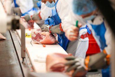 Varkensvleesverwerking in een Duitse slachterij. Varkens vormen in Duitsland veruit de hoofdmoot in de vleesproductie. - Foto: ANP / dpa Picture-Alliance