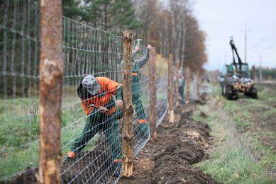 Een metalen afrastering wordt geplaatst in het westen van Polen, vlakbij de grens met Duitsland, om verspreiding van wilde zwijnen en daarmee AVP tegen te gaan. - Foto: ANP