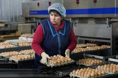Sorteren van eieren op een pluimveebedrijf in Simferopol, Rusland. - Foto: ANP