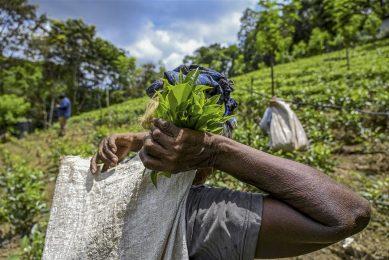 De Sri Lankaanse theeplantages worden zwaar getroffen. Thee is een belangrijk product voor de economie, goed voor een exportwaarde van meer dan €1 miljard per jaar. Foto: ANP