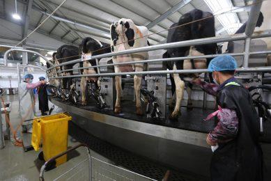 Koeien worden gemolken op een boerderij in Yinan, China. Recordhoge melkprijzen resulteren in verdere uitbreiding van de Chinese melkveehouderij. - Foto: ANP