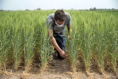 Proefveld met genetisch gemodificeerde tarwe van Bioceres in Argentinië. Dat land stond als eerste deze teelt toe. - Foto: ANP