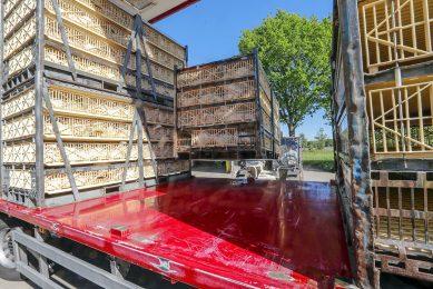 Bij hoge temperaturen neemt de kans toe dat vleeskuikens het transport naar de slachterij niet overleven. - Foto: Bert Jansen