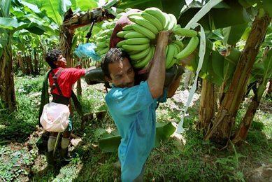 Bananenplukkers in Costa Rica. Mensenrechten moeten beter nageleefd worden door 'Lieferkettengesetz', stelt de Duitse overheid. - Foto: Robert Rizzo/HH/ANP
