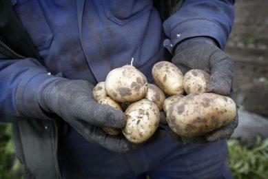 Proefrooiing van aardappelen. - Foto: Roel Dijkstra