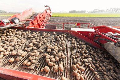 Rooien van pootgoed in Flevoland. Jaarlijks ging er zo'n 15.000 tot 20.000 ton Nederlands pootgoed naar het VK. - Foto: Koos Groenewold