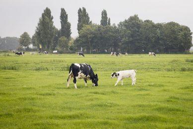 Grazende koeien nabij een Natura2000-gebied. - Foto: Koos Groenewold