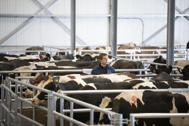 Koeien op de veemarkt in Leuuwarden. - Foto: Mark Pasveer