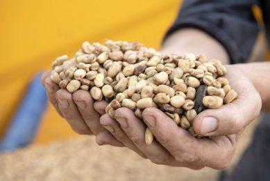 Nederlandse veldbonen. Veldbonen lijken een kansrijker gewas dan sojabonen in Nederland. Foto: Mark Pasveer