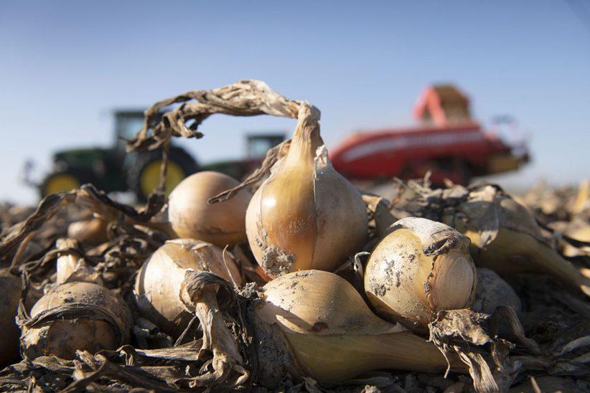 Het gaat hard met de oogst van uien. - Foto: Mark Pasveer