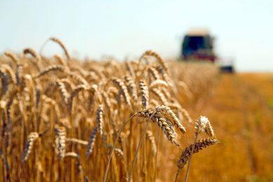 De opbrengstprognose voor tarwe is iets verlaagd in Canada en Argentinië. - Foto: Canva