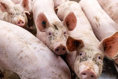 Vrees is dat de Duitse varkensprijs deze week het niveau van €1,25 per kilo niet kan vasthouden. - Foto: Herbert Wiggerman