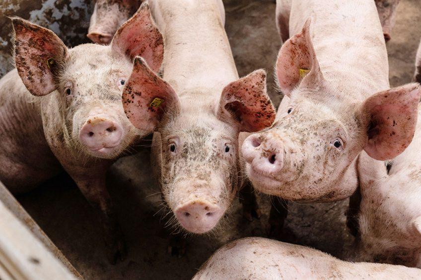 Personeelsgebrek volgende rem op varkensmarkt