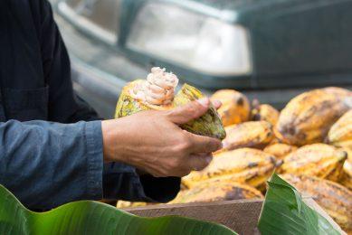 De prijs die cacaoboeren krijgen in Ivoorkust, waar wereldwijd de meeste cacao wordt geproduceerd, daalt volgens Tony's Chocolonely met 18,5% ten opzichte van vorig jaar. - Foto: Canva