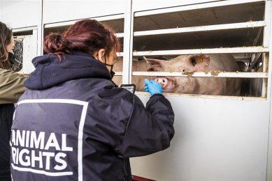 Actiegroep voert actie bij een slachterij in december 2020. Het ministerie van Landbouw, Natuur en Voedselkwaliteit heeft besloten gegevens van een slachthuis af te schermen vanwege het 'gevaar van buitensporige acties van dierenactivisten'. - Foto: ANP