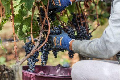 In Frankrijk werd een crimineel netwerk opgerold dat vooral actief was in de wijnbouw. Foto ter illustratie. - Foto: ANP