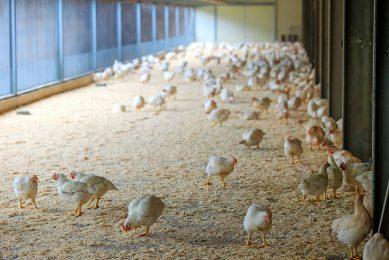 Vleeskuikenhouders moeten investeren in de omschakeling naar Beter Leven keurmerk 1 ster. Onder meer in een overdekte uitloop. - Foto: Bert Jansen