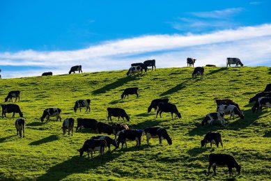 Koeien in Nieuw-Zeeland. Met de handelsdeal verdwijnen de tarieven voor zuivel binnen vijf jaar, wel blijven nog 'overgangsquota' van kracht. - Foto: Canva
