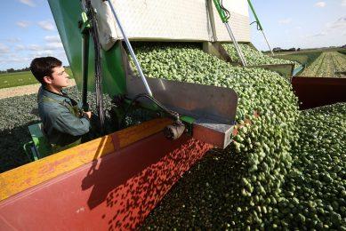 Half september brachten B-spruiten rond 80/85 cent per kilo op, en de A's 70/80 cent. Sindsdien is er elke week gemiddeld 5 cent afgegaan.  - Foto: Henk Riswick