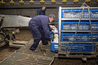 Het laden van vleeskuikens. Foto: Peter Roek