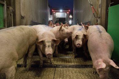 Het varkensaanbod krimpt in Duitsland, maar onvoldoende voor prijsherstel. - Foto: Tönnies Fleisch